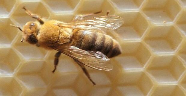 Пчелы - помощники в борьбе с раком