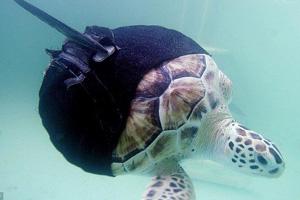 Сможет ли черепаха-инвалид плавать с протезами плавников?
