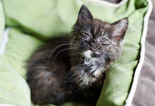 Хламидиоз кошек для человека заразен?