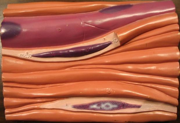 Создана мышечная ткань, реагирующая на нервные импульсы