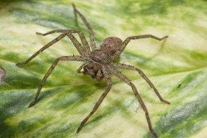 Ученые выяснили причину, по которой большинство пауков кусает людей
