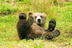 Медведи помогут людям, перенесшим инсульт