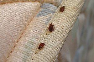 Чем опасны постельные паразиты